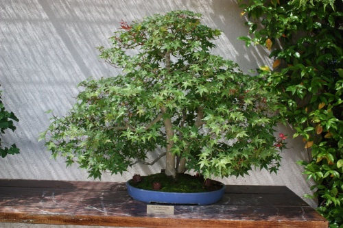 Bonsai Arce de cinco puntas - Acer Palmatum - Fran Rives