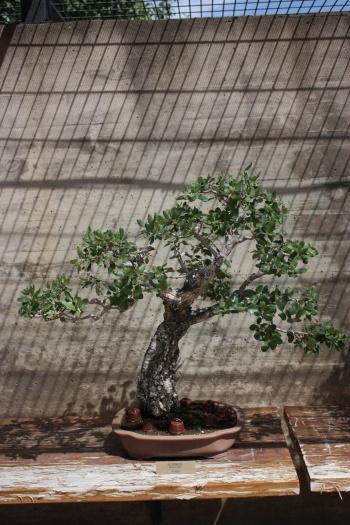 Bonsai Alcornoque - Pinus Suber - Fran Rives
