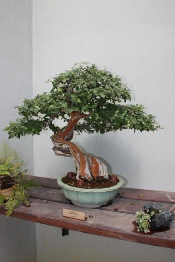 Bonsai Sageretia - Sagerethia Theezans - Fran Rives