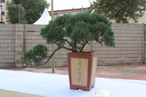 Bonsai Juniperus Chinensis - Enebro - Assoc. Bonsai Cocentaina