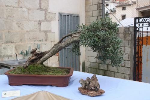 Bonsai Olivo - Olivera- Olea Europaea - Assoc. Bonsai Cocentaina
