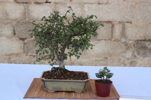 Bonsai Espino - Crataegus Monoghina - Assoc. Bonsai Cocentaina