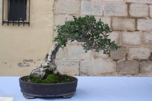Bonsai Olivo Olivera Olea Europaea - Assoc. Bonsai Cocentaina