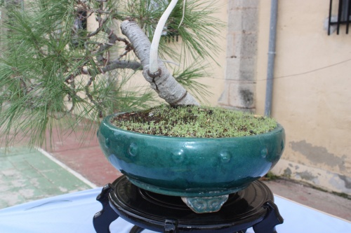 Bonsai Pino de Alepo - Pinus Halepensis - Assoc. Bonsai Cocentaina