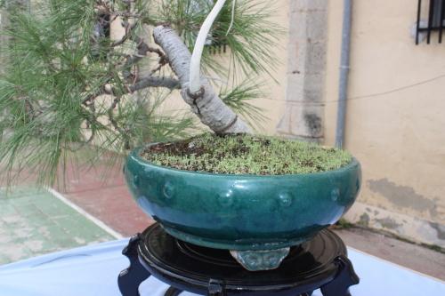 Bonsai Pino de Alepo - Pinus Halepensis - Assoc. Bonsai Cocentaina