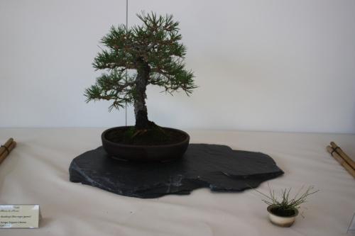 Bonsai Pinus Thumbergii - Enrique Trigueros - Murciano