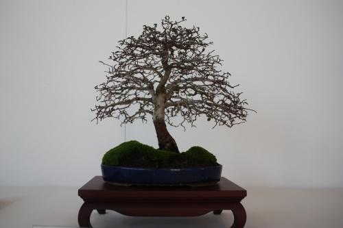 Bonsai Olmo Chino - Ulmus Parvifolia - Alhama Murcia 2008 - Murciano