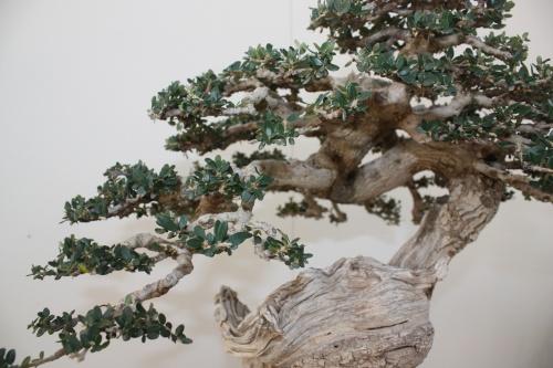 Bonsai Olea Europaea - Alhama Murcia - Erasmo Garcia - Murciano