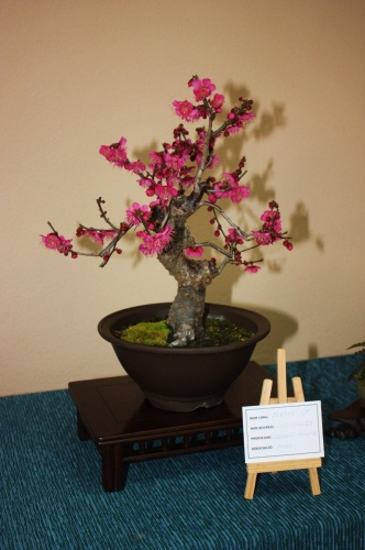 Bonsai Prunus - Pruno - Assoc. Bonsai Muro