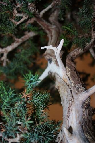 Bonsai Trabajo en tronco de Junipero - Assoc. Bonsai Muro