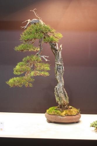 Bonsai Pino Silvestre - Pinus Sylvestris - Cesar Ortega - EBA Lorca