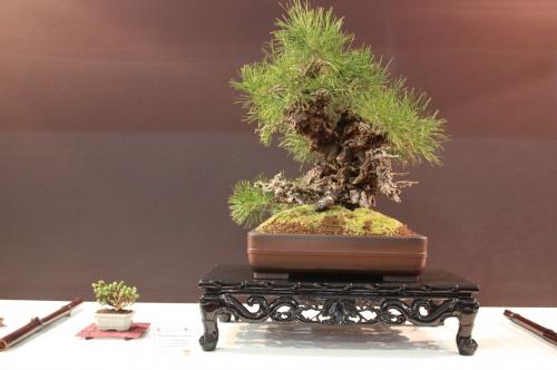 Bonsai Pinus Thumbergii - Juan Antonio Molina - EBA Lorca