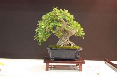 Bonsai Ficus Panda Bonsai - EBA Lorca