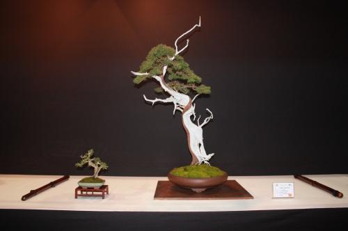 Bonsai Antoni Payeras - Sabina - Juniperus phoenicea - EBA Lorca