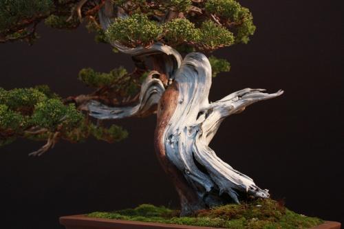 Bonsai Juniperus Chinensis - Xavier Massanet - EBA Lorca