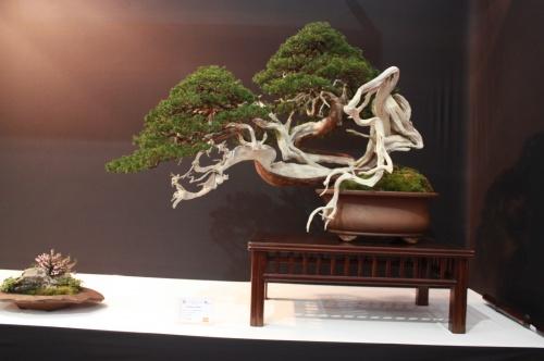 Bonsai Juniperus Sabina - Luis Villa - EBA Lorca