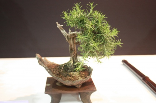 Bonsai 1818 - EBA Lorca