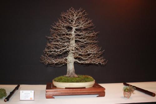 Bonsai Carpinus Betulus - Sebastian Fernandez - EBA Lorca