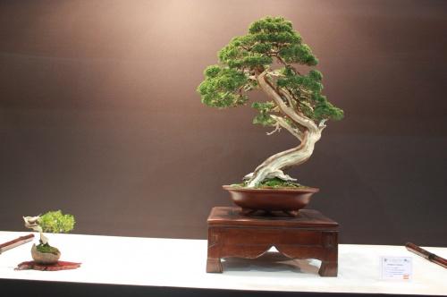 Bonsai Juniperus Chinensis - Jose Antonio Joya Martin - EBA Lorca