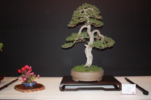 Bonsai Pinus Sylvestris - EBA Lorca