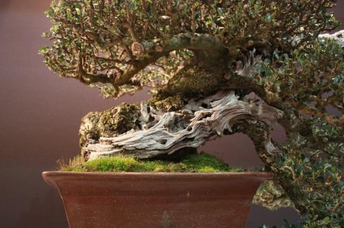 Bonsai Olea Europaea - Joan Tomas Cañellas - EBA Lorca