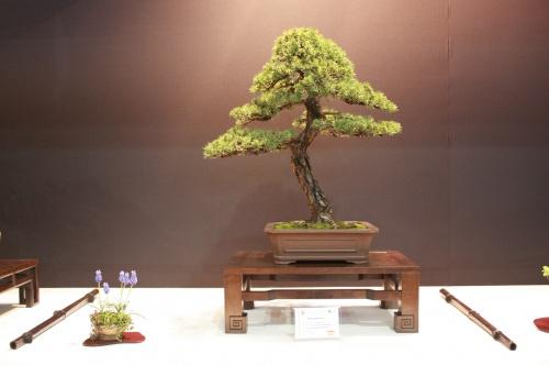 Bonsai Pinus Sylvestris - Everardo Garrido Menendez - EBA Lorca
