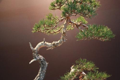 Bonsai Pinus Sylvestris - Alex Gomez Lopez - EBA Lorca