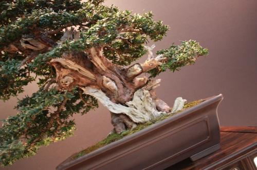 Bonsai Taxus Baccata - Jose Luis Blasco Paz - EBA Lorca