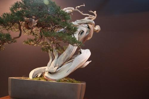 Bonsai Juniperus - Luis Vallejo - EBA Lorca