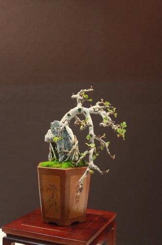 Bonsai Ficus Carica - Higuera - José Gómez - EBA Lorca