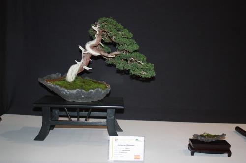 Bonsai Juniperus Chinensis - Sergio Burdalo - EBA Lorca