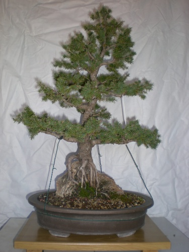 Bonsai Picea glauca conica albertiana-1 - Elias