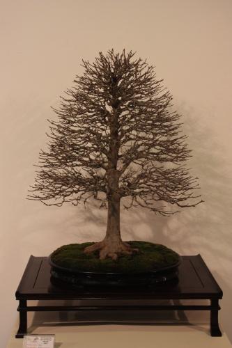 Bonsai Acer Buergerianum - CBALICANTE
