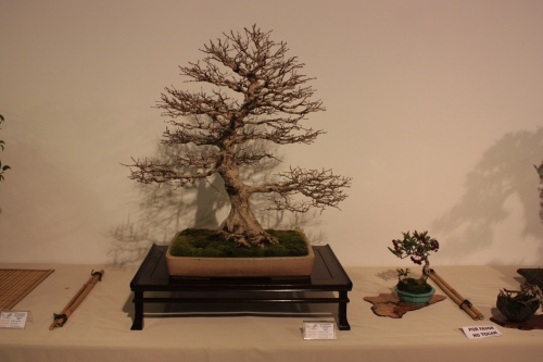 Bonsai Carpinus Thurczanovii - CBALICANTE