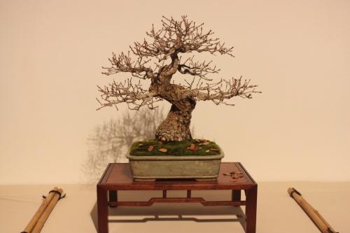 Bonsai Quercus Robur - Roble - CBALICANTE