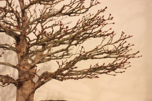 Bonsai Arce - Detalle de Ramificación - CBALICANTE