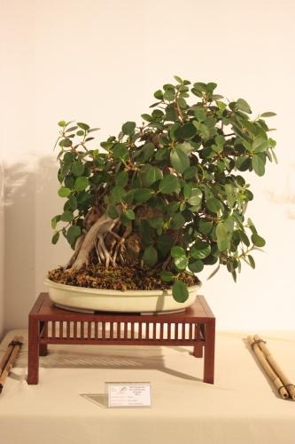 Bonsai Ficus Panda de Víctor Martinez - CBALICANTE