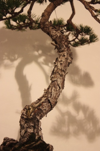 Bonsai Pino Parviflora - Detalle Tronco - CBALICANTE