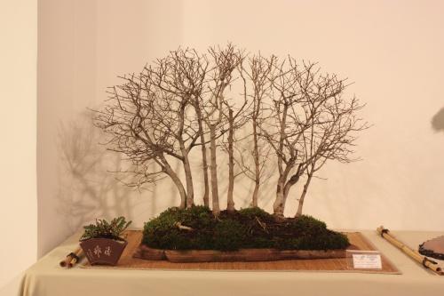 Bonsai Bosque de Olmos - Ulmus Minor - CBALICANTE