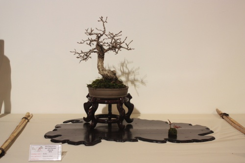 Bonsai Roble - Quercus Robur - CBALICANTE