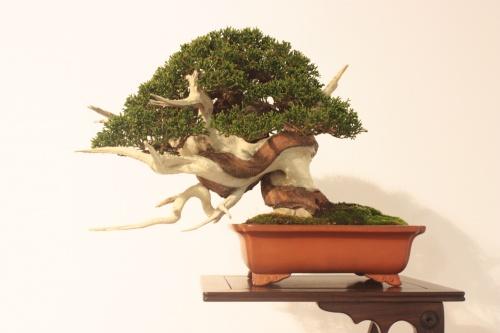 Bonsai Enebro - CBALICANTE