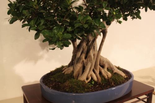 Bonsai Ficus Microcarpa - CBALICANTE