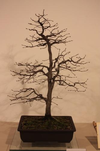 Bonsai Carpinus Betulus - Casa Real - CBALICANTE