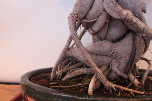Bonsai Detalla tronco de Ficus Benjamina - Assoc. Bonsai Muro