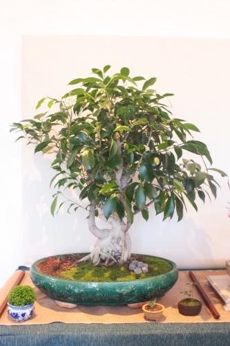 Bonsai Ficus Benjamina - Assoc. Bonsai Muro