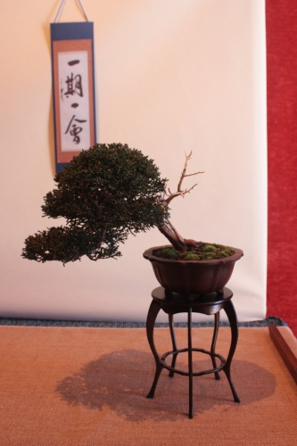 Bonsai 10218 - Assoc. Bonsai Muro