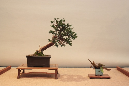 Bonsai Taxus - Teix - Assoc. Bonsai Muro