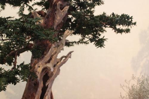Bonsai Detalle tronco y ramas de Tejo - Assoc. Bonsai Muro