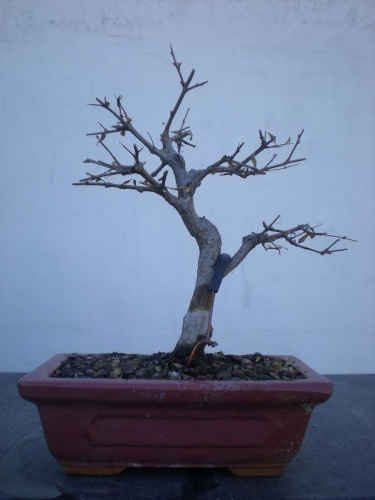 Bonsai Granado nana 2 - Elias