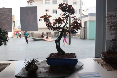 Bonsai Ciruelo de Jardin - Asociacin Mediterrnea del Bonsi - torrevejense